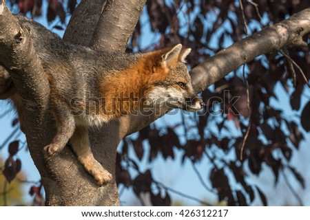 Grey Fox (Urocyon cinereoargenteus) in Tree Looks Right - captive animal