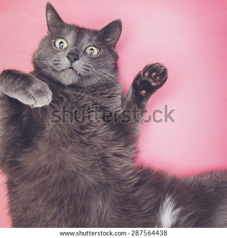 grey funny cat posing on the pink background - stock photo