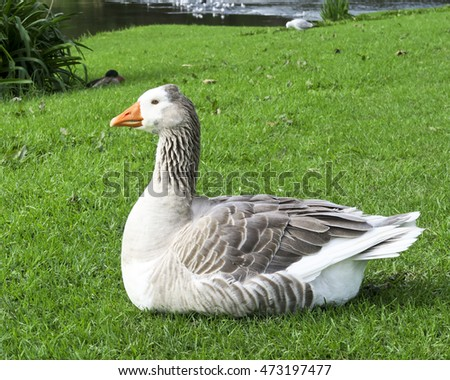 Grey goose sitting on green grass