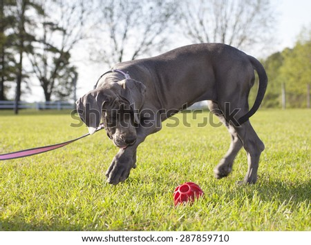 Grey Great Dane puppy on a leash going after a ball - stock photo