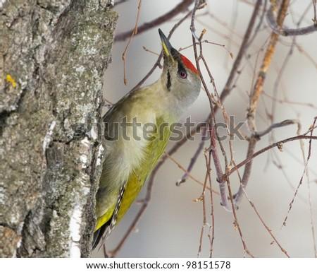 Grey-headed Woodpecker on the birch - stock photo