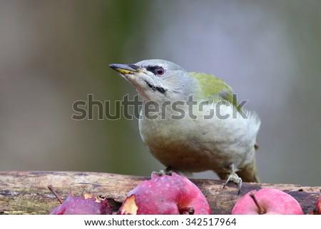Grey-headed woodpecker, Picus canus - stock photo