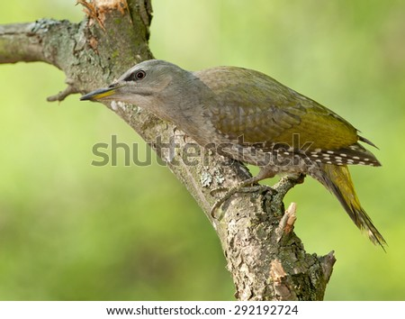 Grey-headed woodpecker (Picus canus) young bird