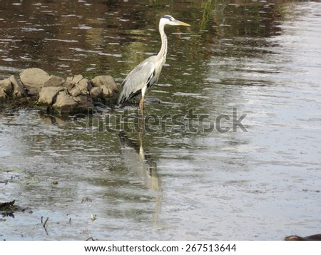Grey heron. - stock photo