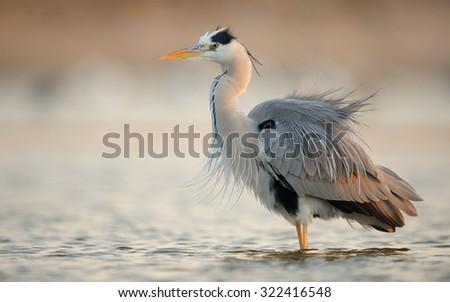 Grey Heron  - stock photo