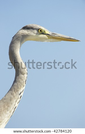 Grey Heron (Ardea Cinerea) bird against blue sky background in nature reserve in South Africa