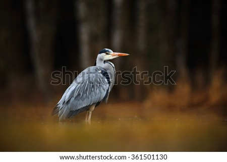 Grey Heron, Ardea cinerea, bird sitting in the green marsh grass, forest in the background, animal in the nature habitat, Norway - stock photo