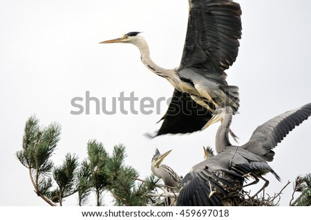 Grey Heron (Ardea cinerea) flying over the nest with chicks - stock photo