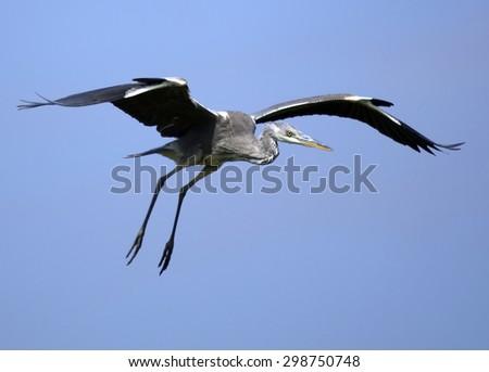 Grey Heron (Ardea cinerea) in flight. - stock photo