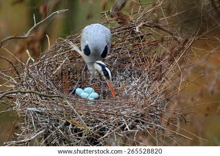Grey heron, Ardea cinerea, in nest with four eggs, nesting time - stock photo
