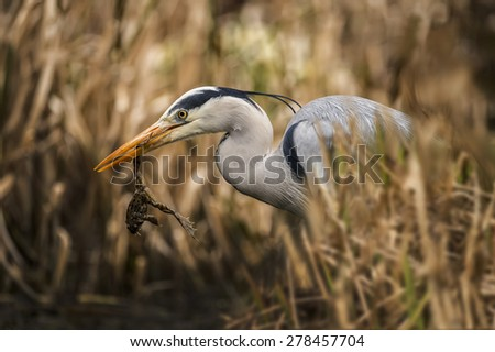 Grey Heron, ardea cinerea, in reeds, with frog in its beak - stock photo