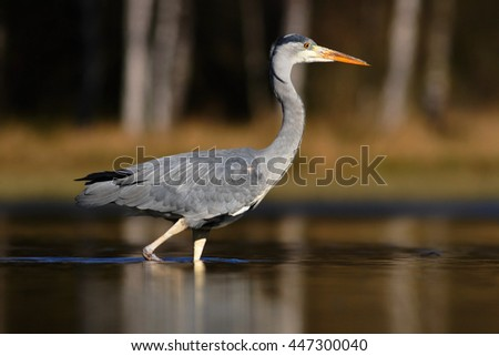 Grey Heron, Ardea cinerea, in water, blurred grass in background. Heron in the forest lake. Bird in the nature habitat, walking in the water. Animal from Sweden