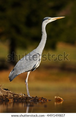 Grey Heron, Ardea cinerea, in water, blurred grass in background. Heron in the forest lake. Bird in the nature habitat, walking in the water. Animal from Russia. Heron standing on the stone.