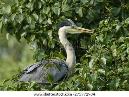 Grey Heron, ardea cinerea, sitting in a tree - stock photo