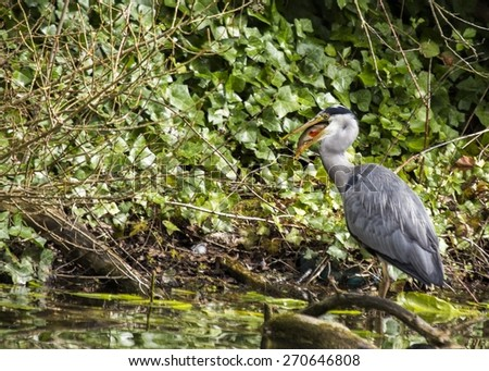 Grey Heron (Ardea cinerea) spotted outdoors in Phoenix Park, Dublin, Ireland - stock photo