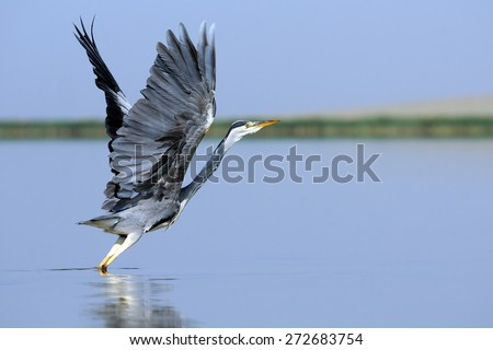 Grey Heron (Ardea cinerea) Takeoff  on Manych lake, Kalmykia, Russia  - stock photo
