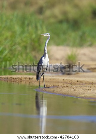 Grey Heron (Ardea Cinerea) walking in the water in nature reserve in South Africa