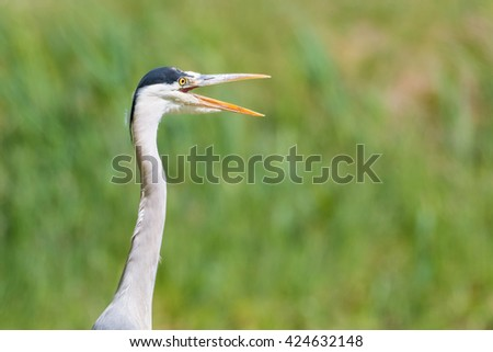 Grey heron (Ardea cinerea) with open beak