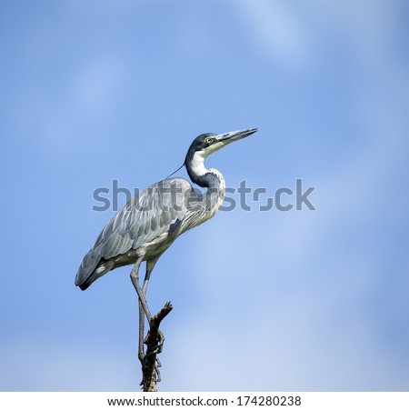 Grey heron banks of Mara River - stock photo