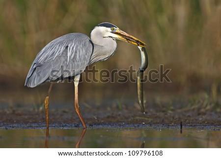 Grey Heron capturing an eel - stock photo