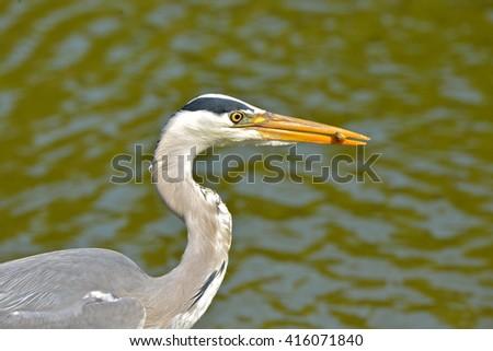 Grey heron eating a fish - stock photo