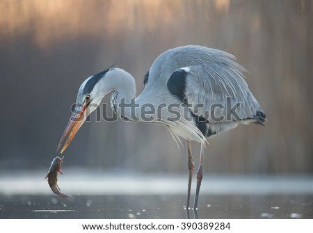 Grey heron fishing in the pond, with cattle fish, clean background, Hungary, Europe - stock photo