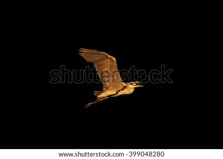 Grey heron flying isolated on black,Grey heron flying at sunrise, bird flying against the sky - stock photo