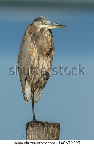 Grey heron in Florida with blue background