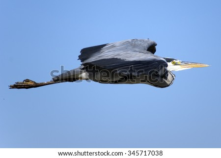 Grey heron in fly - stock photo
