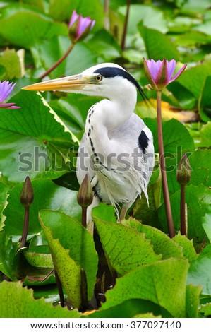 Grey Heron in lotus pond, Maldives - stock photo