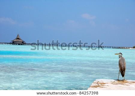 Grey Heron in Maldives Landscape - stock photo