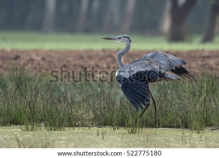 Grey heron landing near a pond