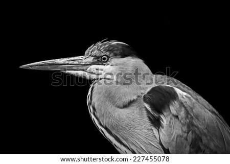 Grey Heron profile - stock photo