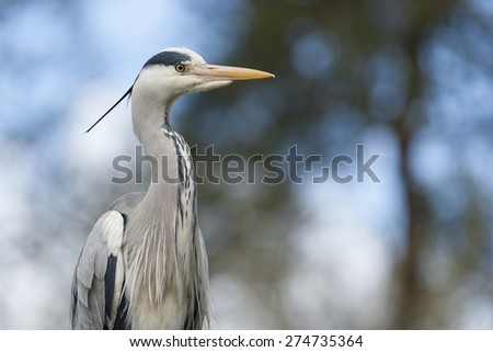 Grey heron's hunt for fish but will also take ducklings and goslings - stock photo