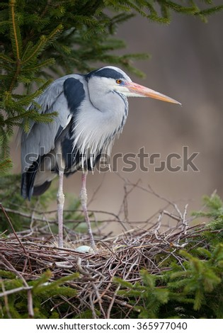 Grey heron standing in nest with egg, on the pine tree - stock photo