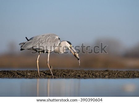 Grey heron standing in the water with big fish in the beak, clean blue background, Hungary, Europe - stock photo