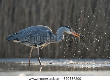 Grey heron standing in the water with fish in the beak and water drops around head, clean  background, Hungary, Europe - stock photo