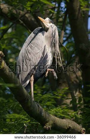Grey heron standing on branch in tree on sunny summer morning