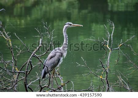 Grey heron standing on the tree by the lake Maksimir, Zagreb, Croatia / Aquatic bird standing on the tree / Heron at the lake - stock photo