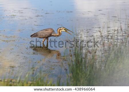Grey Heron swallows a fish - stock photo