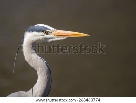 Grey Heron taken on the River Dodder, Dublin Ireland - stock photo
