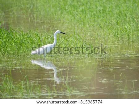 Grey Heron, Thailand. - stock photo