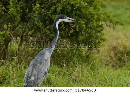 grey heron with a fresh lizard in its beak in long grass  - stock photo