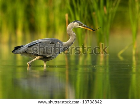 Grey Heron with branch - stock photo