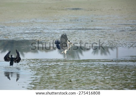 Grey Heron with fish moving away from Great Cormorant - stock photo