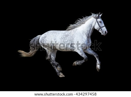 Grey horse running gallop on black background.