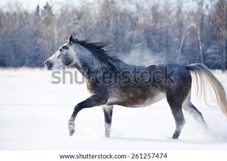 grey horse runs free in winter - stock photo