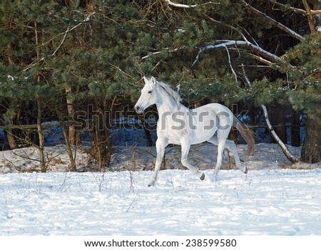 Grey horse, trotting on snow on a background a pine-wood - stock photo