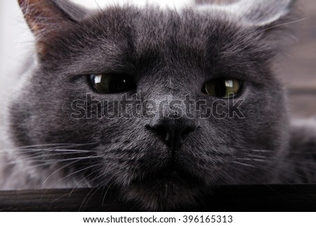 Grey house cat with yellow eyes on a wooden background.