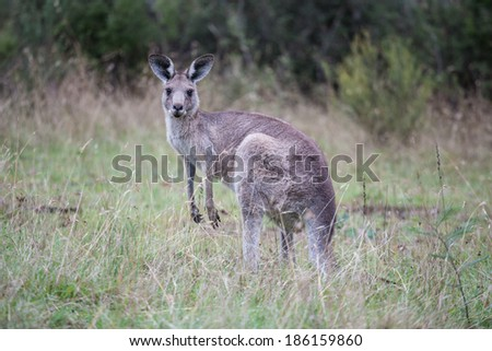 Grey kangaroo closeup. - stock photo